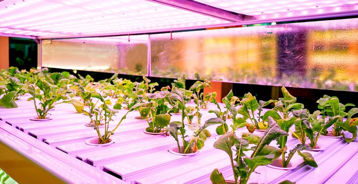 salad plants grow in a greenhouse cabinet