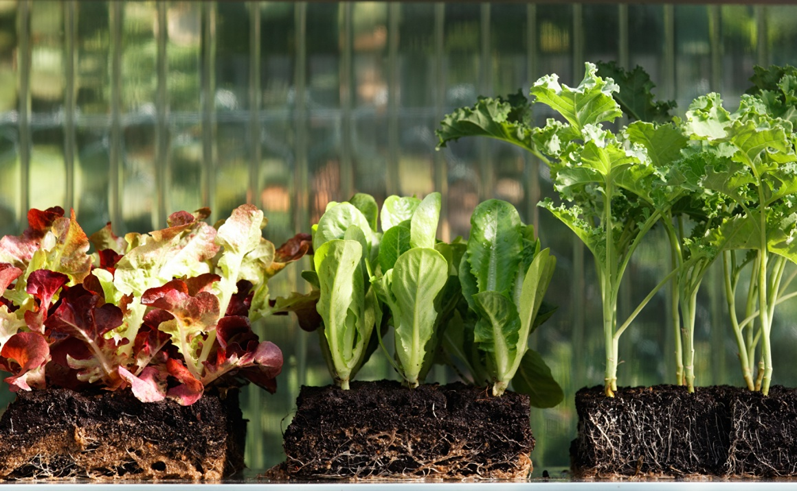 Lettuce plants in blocks of earth